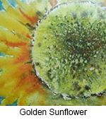 Golden Sunflower TN